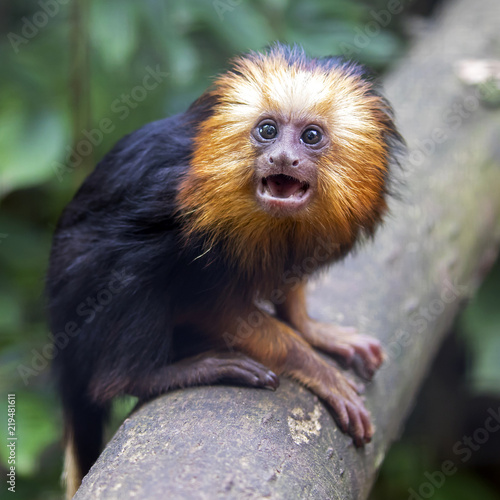 Young lion tamarin