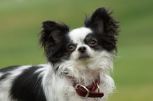 Chihuahua Dog Outdoor Portrait In Grass