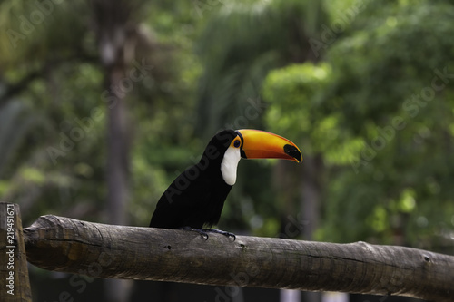 Colorful Toucan on the wooden branch