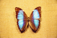 Scarce Morpho Butterfly Morpho...