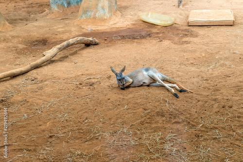 Australian kangaroos standing on the ground and sleeping