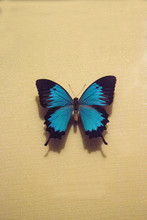 Ulysses Butterfly Papilio Ulysses Autolycus
