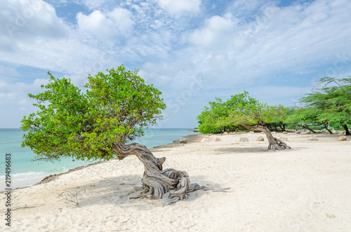 фотография famous Divi Divi tree which is Aruba's natural compass