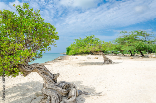 Платно famous Divi Divi tree which is Aruba's natural compass