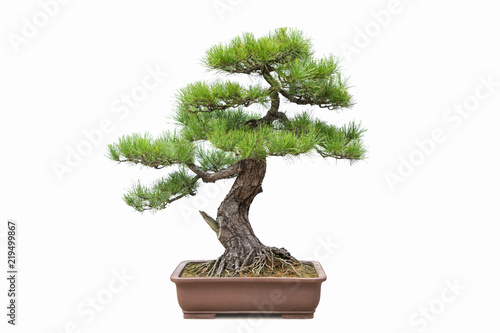 Montage in der Fensternische Bonsai green pine bonsai isolated