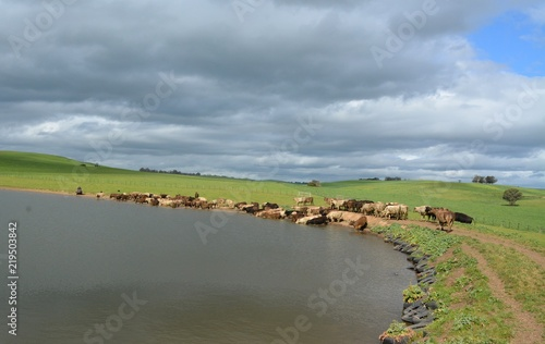 Foto op Canvas Pistache Cattle herding