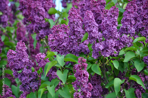 Lilac bush is purple