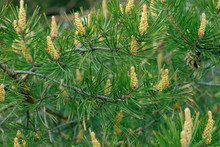Young Green Bumps On A Pine Branches Close-up.