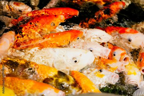 Plakat Wielokolorowe ryby karp na powierzchni wody
