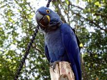 Hyacinth Macaw  (Anodorhynchus...