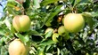 frische süsse äpfel am apfelbaum wachsend
