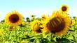canvas print picture - schöne farbenfrohe sonnenblumen bei sonnenlicht