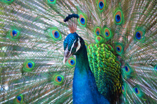 Tuinposter Pauw Peacock with tail in plume