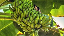 Banana Tree, Glimmering Sun HDR Tracking Crane Shot Time Lapse