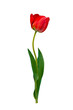Blooming red tulip isolated on white background. Spring tulip flower with leaves.