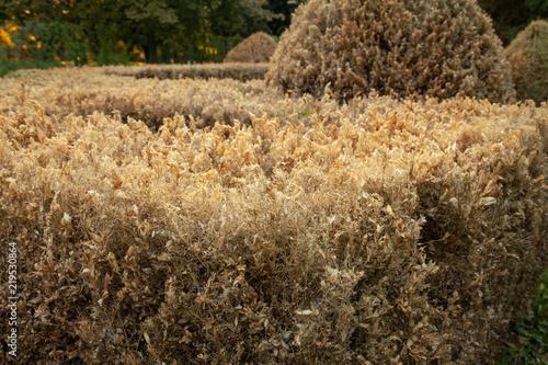 Fotografía  damege dry leaf of hedges in the park