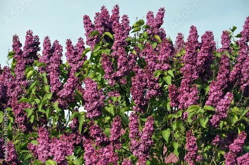 Foto op Canvas Lilac Lilac bush is purple