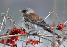 Turdus Philomelos Sits On A Branch Of A Guelder Rose