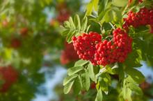 Ripe Red Rowan Berries In Bunc...