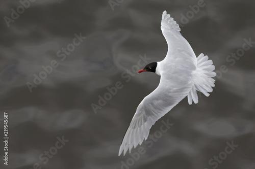 Mediterranean gull (Ichthyaetus melanocephalus) foraging in flight at Bremen Harbour,