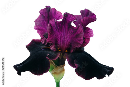 A flower of an iris with dark pink and black petals.