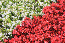 Begonia Flower Plants Of White And Red Color On Garden Flower Bed Shaped As Square Divided By Line Into Equal Size Triangle Figures. Natural Geometric Background Made On Flowerbed On Sunny Summer Day