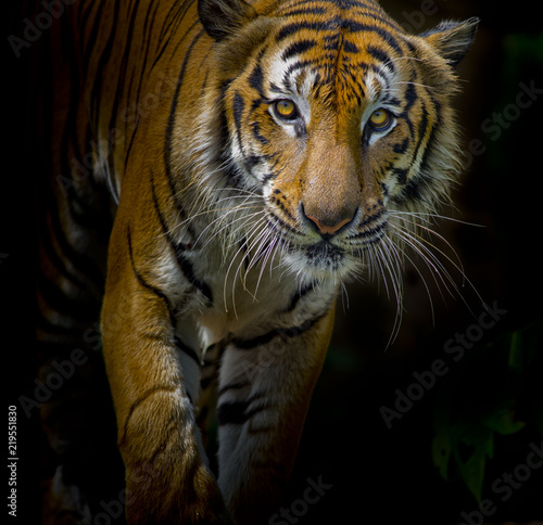 Fotomurales - Tiger portrait in front of black background