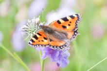 Orange Butterfly Gathering Pollen Of Purple Flowers In Green Field