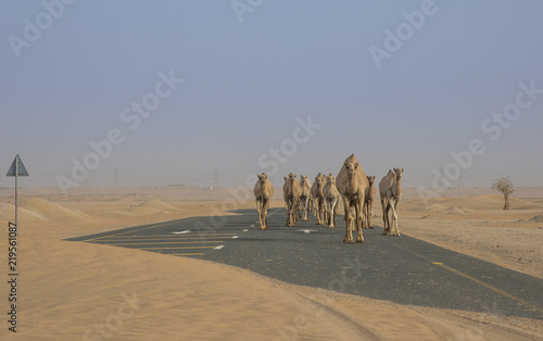 Dromedary camels walking in a desert
