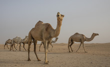 Dromedary Camels Walking In A ...