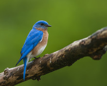 EASTERN BLUEBIRD ON LIMB
