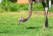Ostrich Eats Grass
