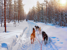 Husky Dogs On Sled In Rovaniemi In Finland Lapland Sunset