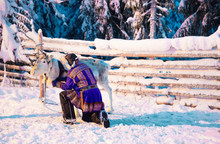 Man In Saami Traditional Garment At Reindeer Rovaniemi Finland Lapland