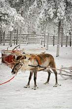 Reindeer Sleigh In Winter Snow Forest In Rovaniemi Finland Lapland