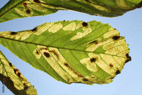 Mines of Horse-chestnut leaf miner or Cameraria ohridella on leaf of common horse-chestnut or Aesculus hippocastanum