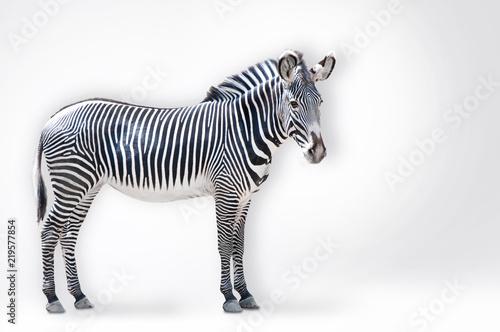 Garden Poster Zebra Zebra Portrait