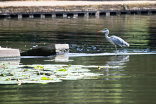 Blue Heron Stood On Weir Trying To Catch Fish Surrounded By Lily Pads