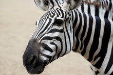 Portrait Of African Striped Co...