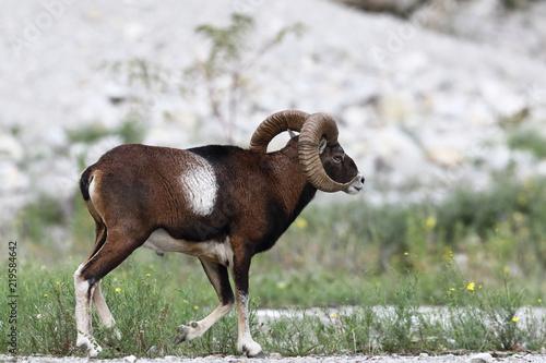 Photo  Mouflon - Mating season