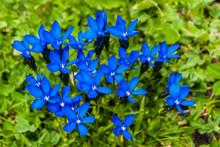 Blue Alpine Flower From Switze...