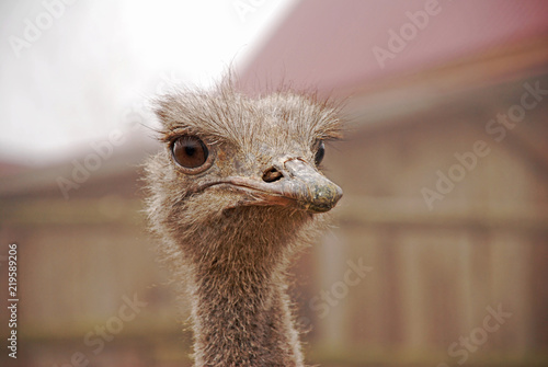 The ostrich head in the zoo. Close-up of head. Beautiful big ostrich eyes and long lashes.