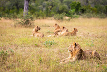 Young Male Lion Lying By Himse...