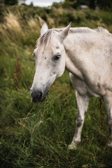 Irish White Horse