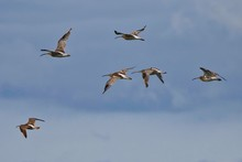 Flock Of Curlews Flying Over