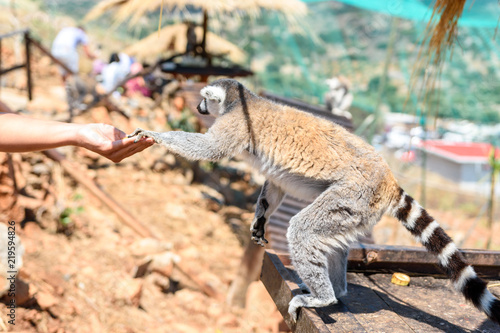 Recess Fitting Chameleon Ring-tailed lemur feeding in a contact zoo.