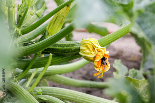 Zucchini plant with blossom and bumblebee