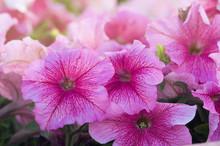 Lots Of Beautiful Petunia Flowers In The Garden.