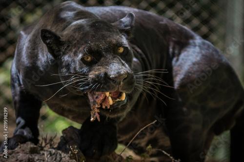 Foto auf Gartenposter Panther Onça Pintada / Jaguar (Panthera onca)