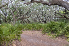 Path Through Saw Palmettos And Live Oaks In A Maritime Forest On Cumberland Island, Georgia